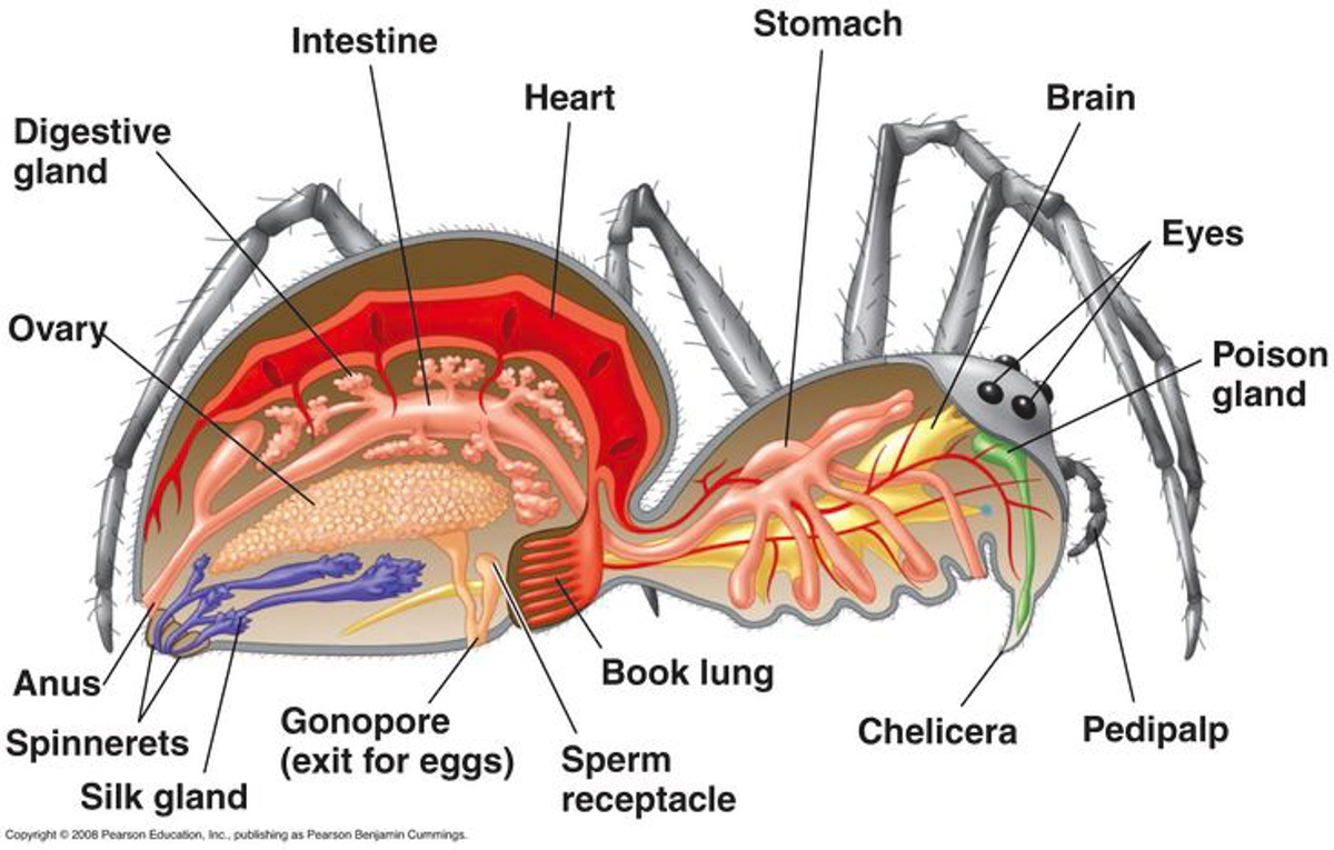 Inside Of A Spider Anatomy Diagram - Block And Schematic Diagrams •